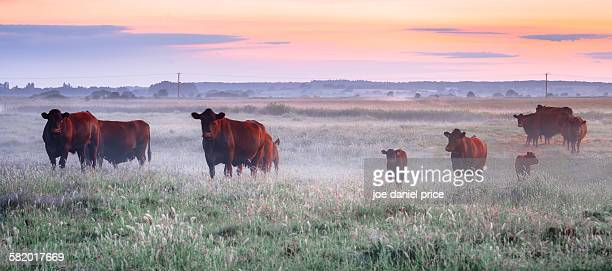 Cows in the Mist, Rye, East Sussex, England