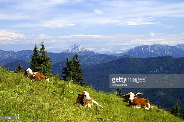 Cows in the mountains 2