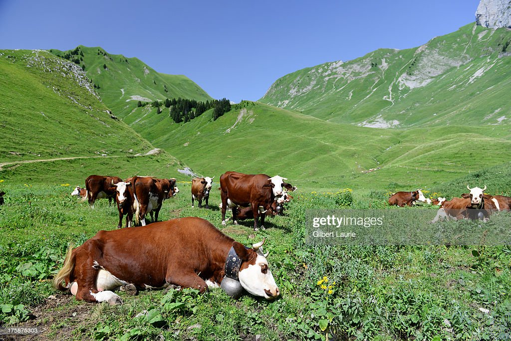 Cows in the mountains of eastern France : Stock Photo