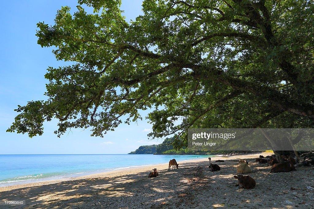 Cows lazing on beach, Pentecost Island, Vanuatu : Stock Photo