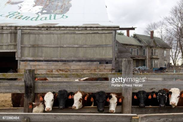 Cows line up at the trough as they see Arthur Randall Jr come up with their food