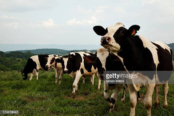 Cows Looking at Camera