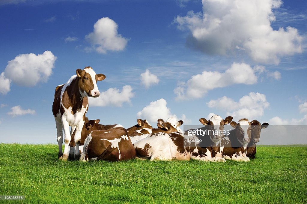 Cows Lying on Green Grass : Stock Photo
