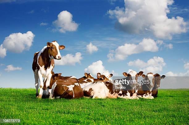 Kühe auf der grünen Wiese liegen