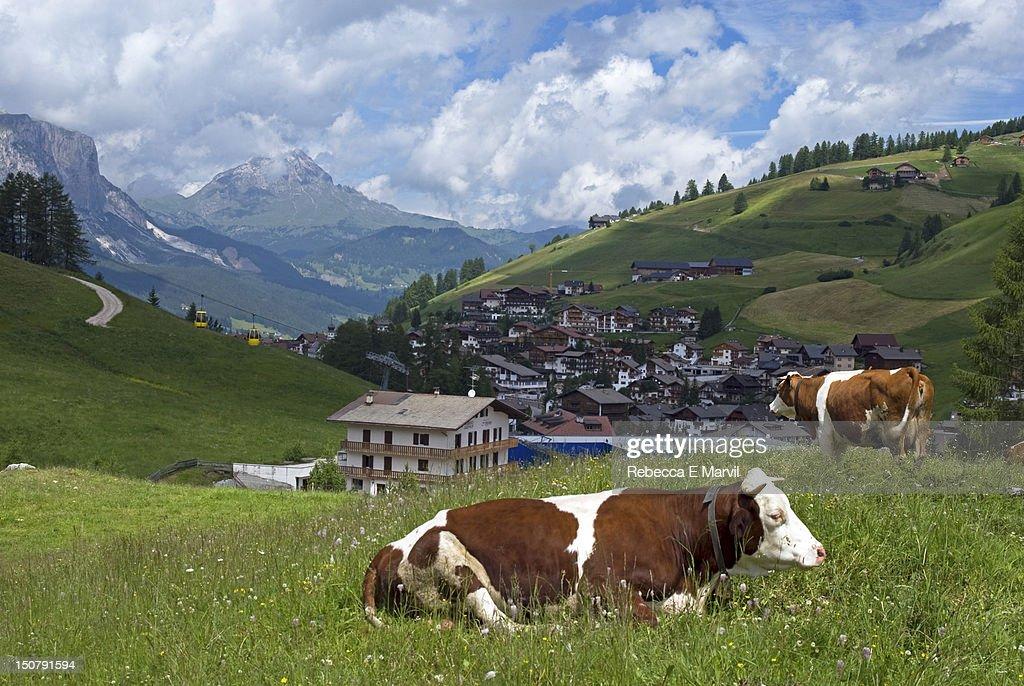 Cows near San Cassiano, Dolomites, Italy : Stock Photo