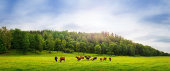 A panoramic view of some cows eating on green grass and with trees in the background.