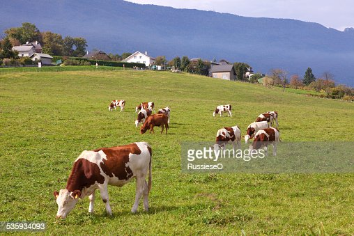 cows on a meadow : Stock Photo