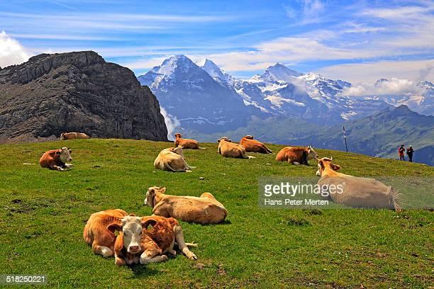 cows on alp, Faulhorn, Bernese Alps, Switzerland