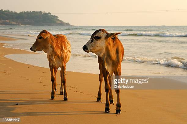 Cows on beach, Goa