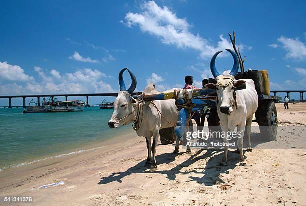 Cows on Beach on Rameswaram Island
