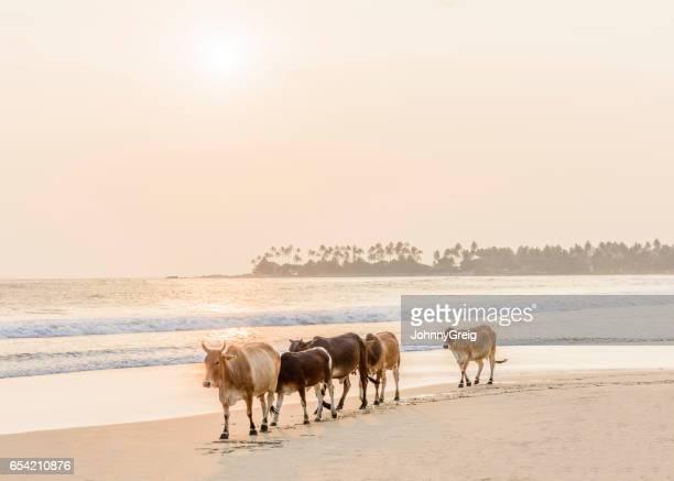 Cows on beach, Sri Lanka