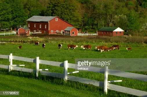 Cows on green field pasture with white fence