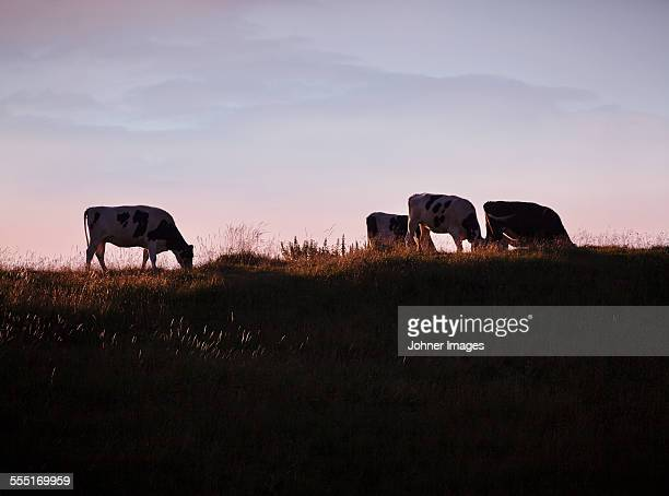 Cows on pasture at dusk
