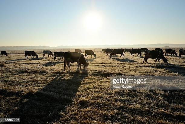 Kühe auf Weiden bei Sonnenaufgang