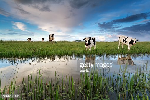 cows on pasture by river : Stock Photo