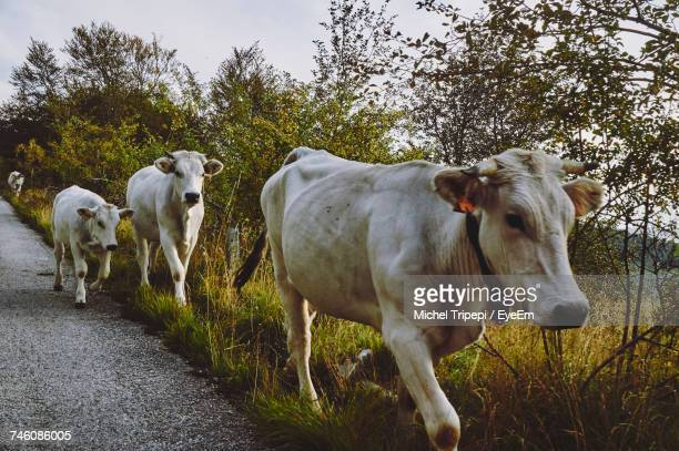 Cows On Road By Trees On Field