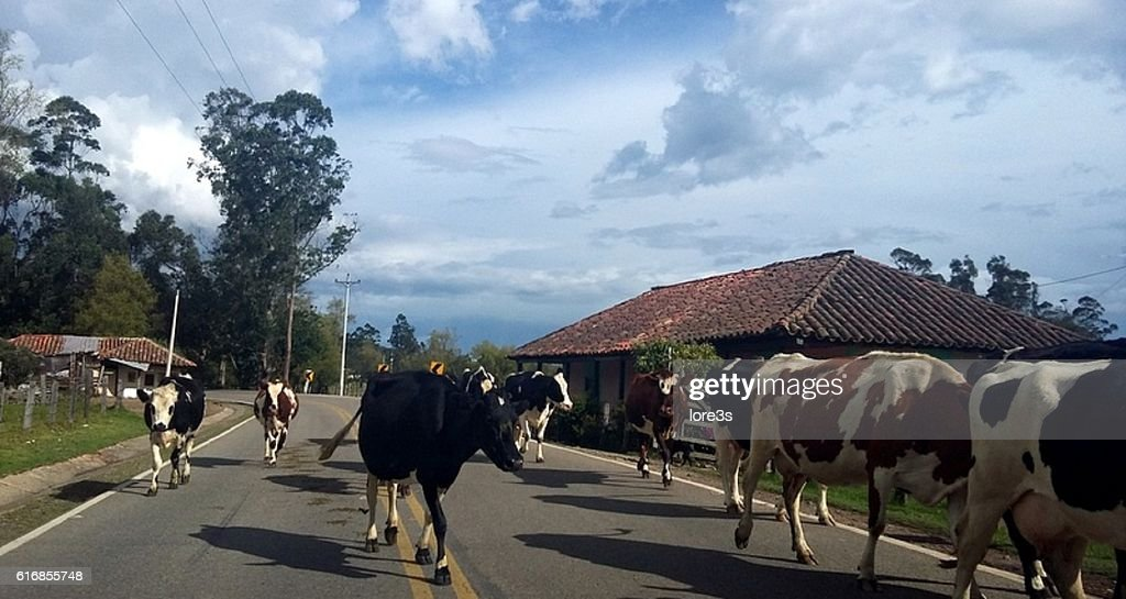 cows on the road : Stock Photo