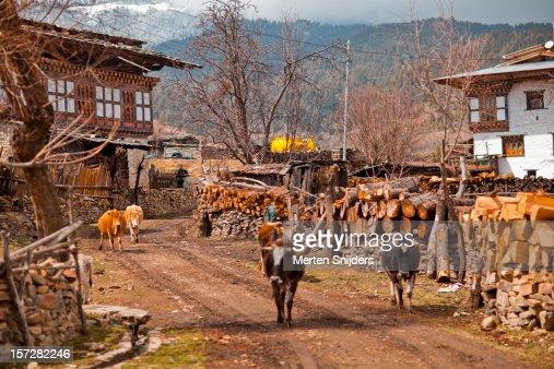Cows pass through Ura