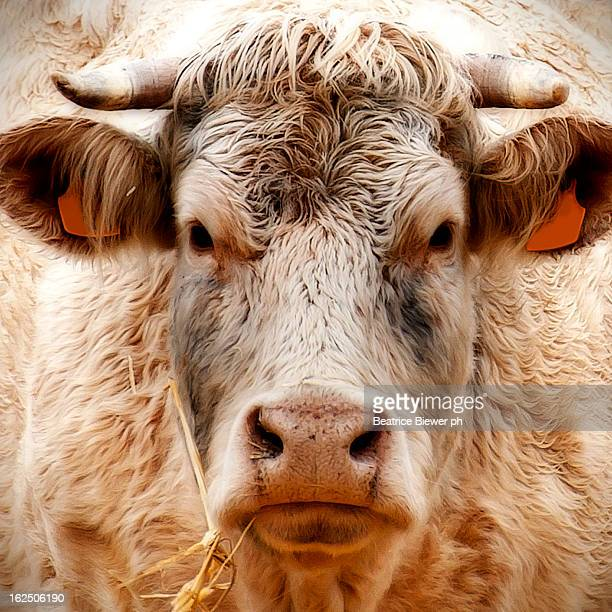 Cow's regard