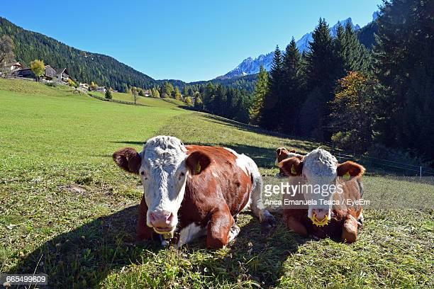 Cows Relaxing On Grass Landscape Against Clear Sky