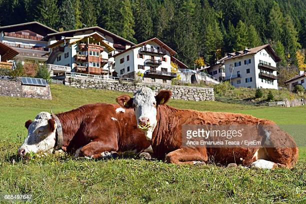 Cows Relaxing On Grass With Built Structure In Background