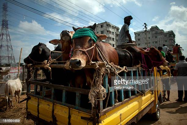 Cows ride on the back of a truck at a cattle market on October 15 2013 in Dhaka Bangladesh Eid AlAdha known as the 'Feast of the Sacrifice' is one of...