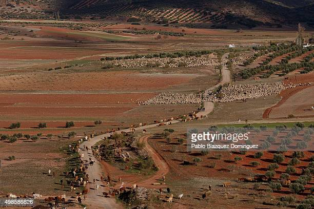 Cows sheep and goats herds walk along the Canada Real Conquense o de los Serranos on November 20 2015 near Alhambra in Ciudad Real province Spain The...