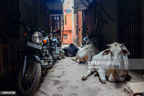 Cows sit next to motorcycles in an alley in New Delhi India on Wednesday March 11 2015 The government of the state of Maharashtra last week banned...