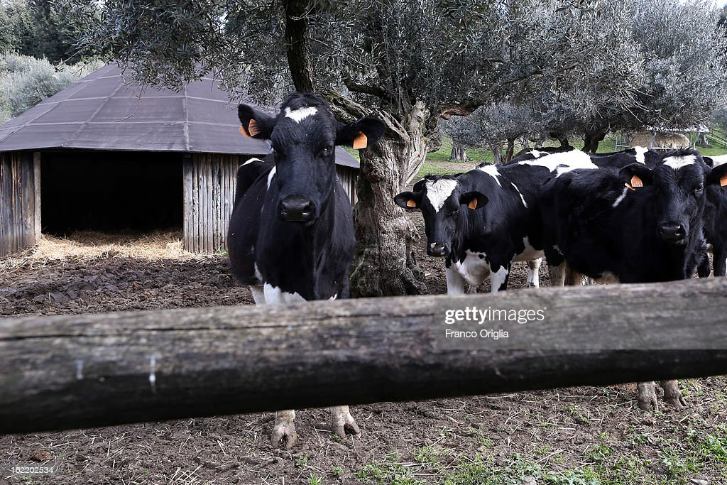 Cows stand in a farm inside the Pontifical residence of Castelgandolfo on February 20, 2013 in Rome, Italy. The Apostolic Palace and The Ponifical Villas of Castelgandolfo, 10 miles south Rome, are the summer residence of Popes and will host Pope Benedict XVI during the next conclave.