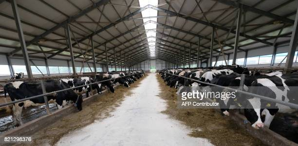 Cows stand inside a cowshed at a dairy farm in a village of Vvedenskoye outside Moscow on July 23 2017 / AFP PHOTO / Yuri KADOBNOV