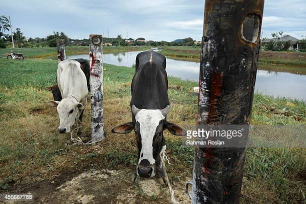 Cows stand tethered to poles ahead of being sacrificed during Eid AlAdha on October 5 2014 in Duyong Malacca Malaysia Muslims worldwide celebrate Eid...
