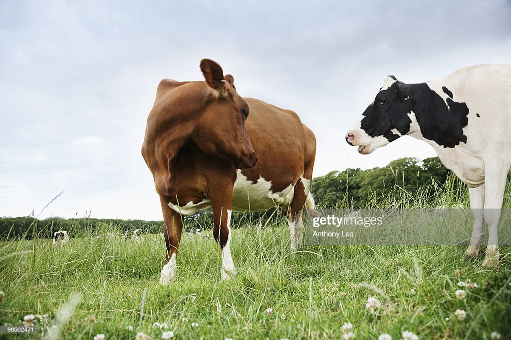 Cows standing face to face in meadow : Stock Photo