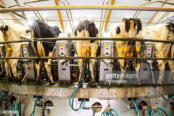 Cows standing in a fully automatic milking machine at the Versuchsanstalt Haus Riswick on August 20 in Kleve Germany Versuchsanstalt Haus Riswick is...