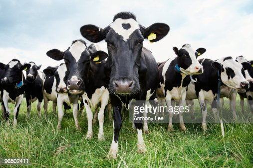 Cows standing in a row looking at camera : Photo