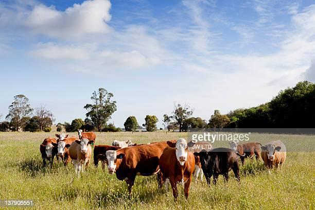 Cows standing in field, portrait