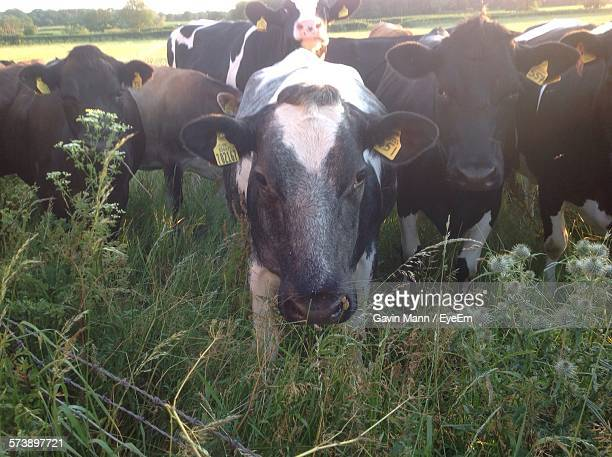 Cows Standing On Field At Farm