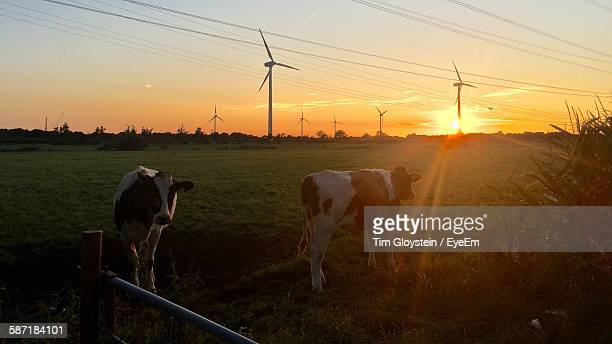 Cows Standing On Field During Sunset