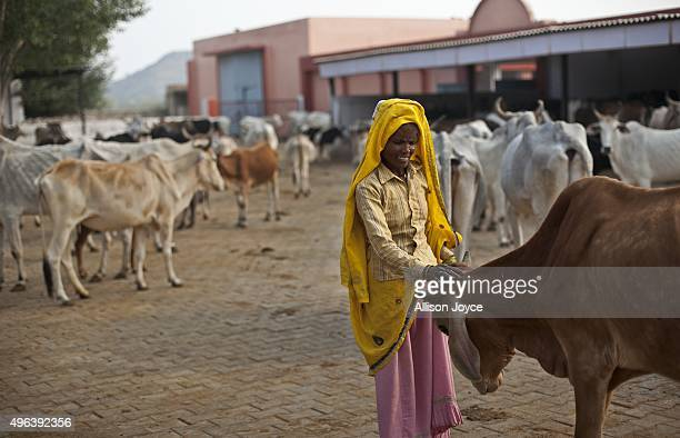 Cows that have been rescued from smugglers are seen at a rescue shelter November 7 2015 in Ramgarh Rajasthan India The local 'cow vigilante' group...
