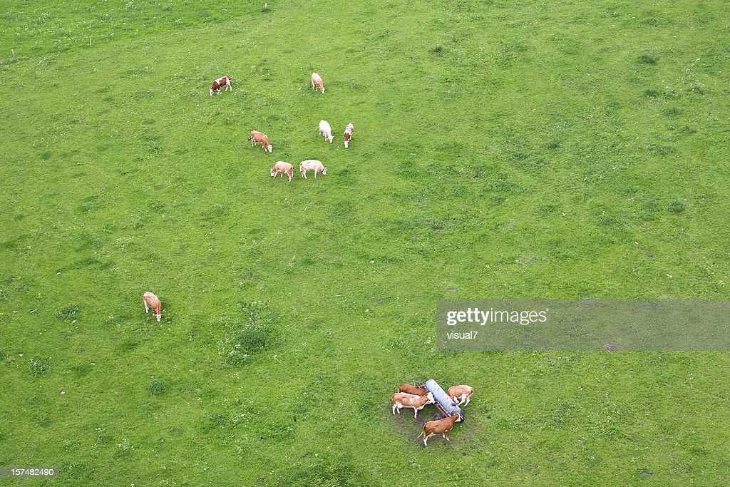 cows, top view : Stock Photo