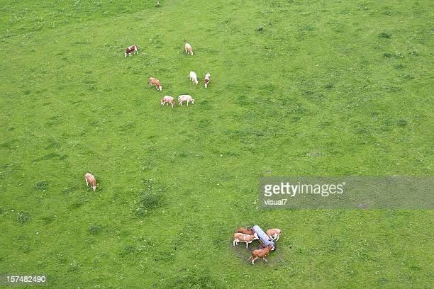 Les vaches, vue du haut