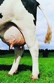 Cow's Udder