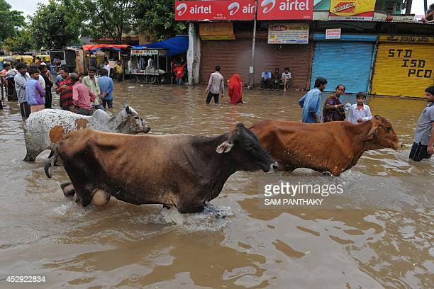 Cows wade through floodwaters in Ahmedabad on July 30 2014 Rains lashed Ahmedabad and many regions of India's western Gujarat state wth the Indian...