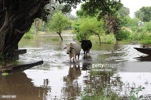 Cows wade through water as flood like situation is created in village Pipalkhedi after three sluice gates of the Halali dam some 55KM away from...