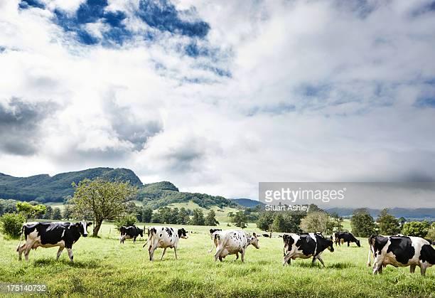 Cows walk in beautiful paddock