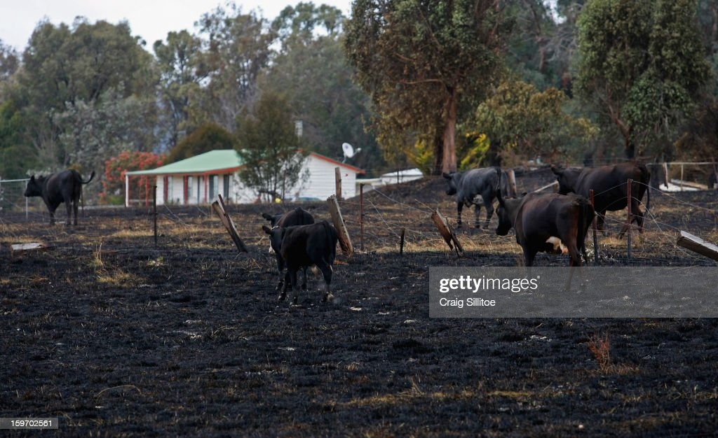 Cows walk over charred land on January 19, 2013 in Melbourne, Australia. Bushfires in Victoria have claimed one life and destroyed several houses. Record heat continues to create extreme fire conditions throughout Australia.
