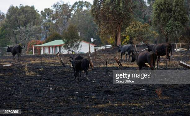 Cows walk over charred land on January 19 2013 in Melbourne Australia Bushfires in Victoria have claimed one life and destroyed several houses Record...