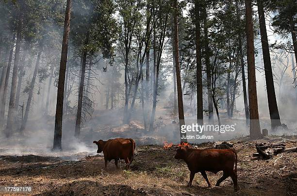 Cows walk through a section of forest that was burned by the Rim Fire outside of Camp Mather on August 24 2013 near Groveland California The Rim Fire...