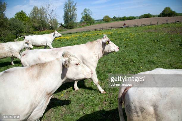 Cows walking on pasture
