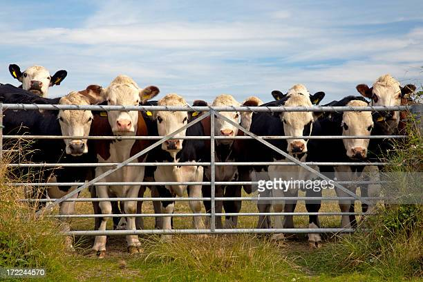 Cows watching through gate