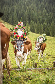 Cows wearing headdresses in grassy field